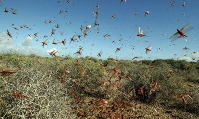 Locust Attack Scatters To Maharashtra and UP.
